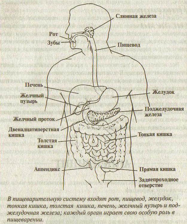 Тракт Пищеварительный фото